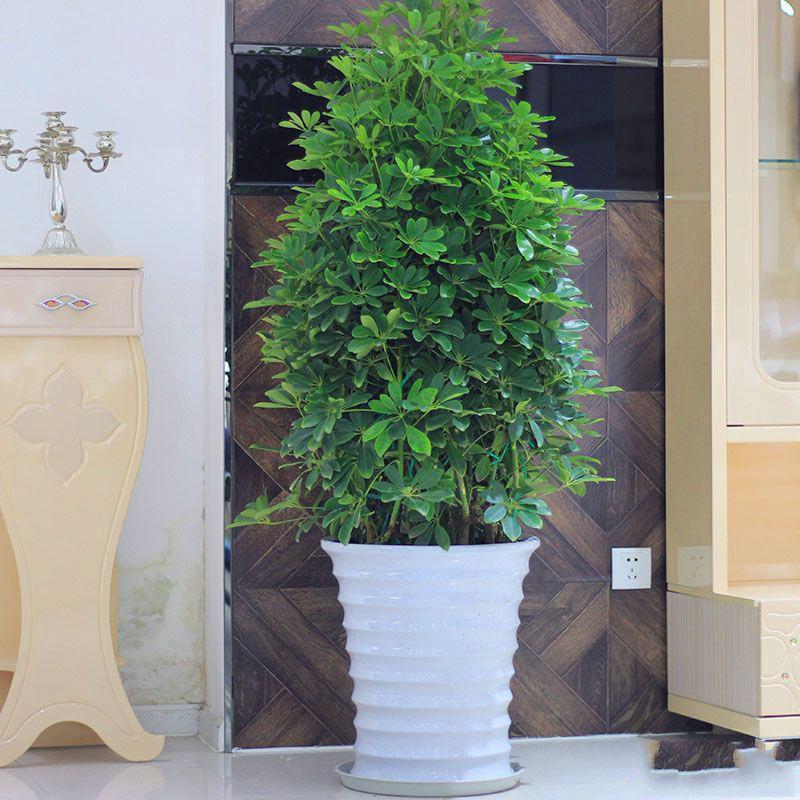 鸭脚木盆栽