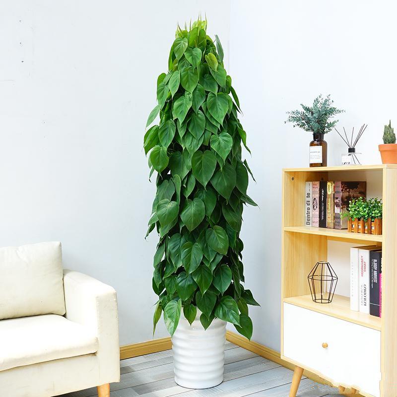 心叶藤盆栽