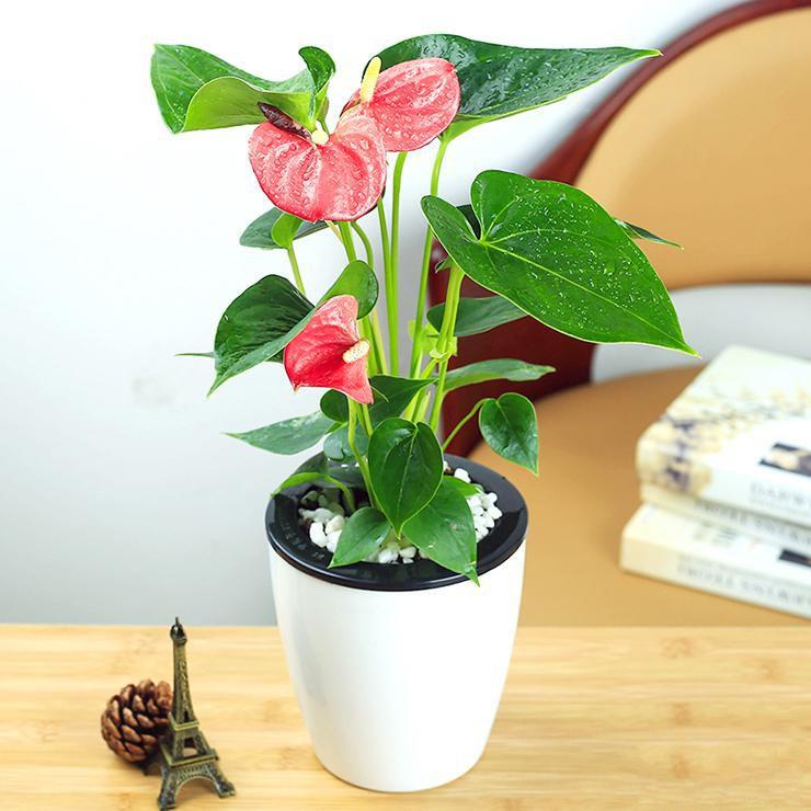 小红掌盆栽