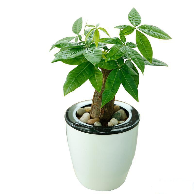 小发财树_图片1