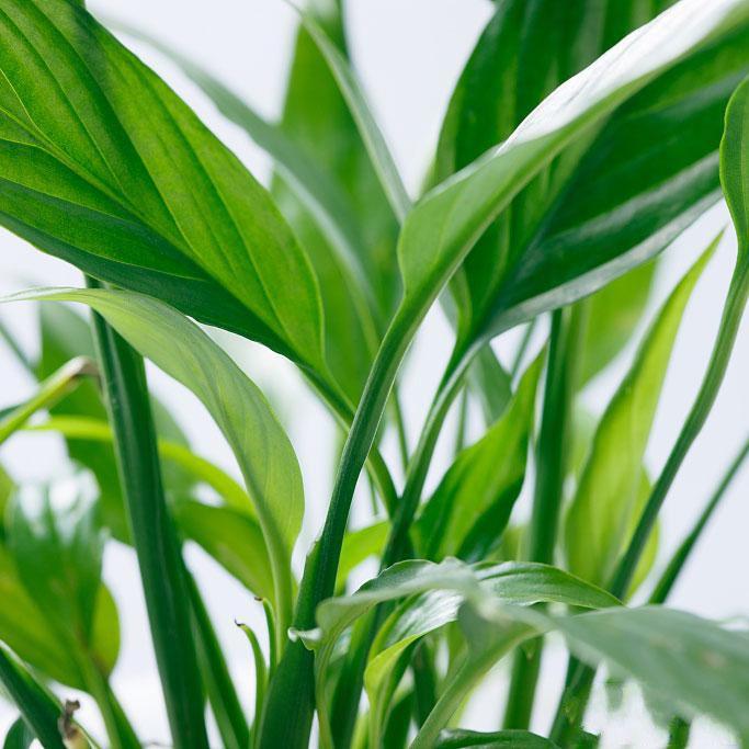 小白掌盆栽_图片2