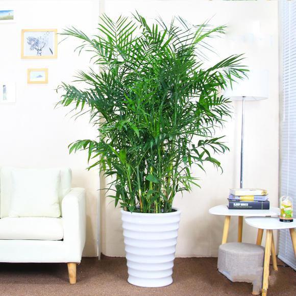 夏威夷竹子盆栽