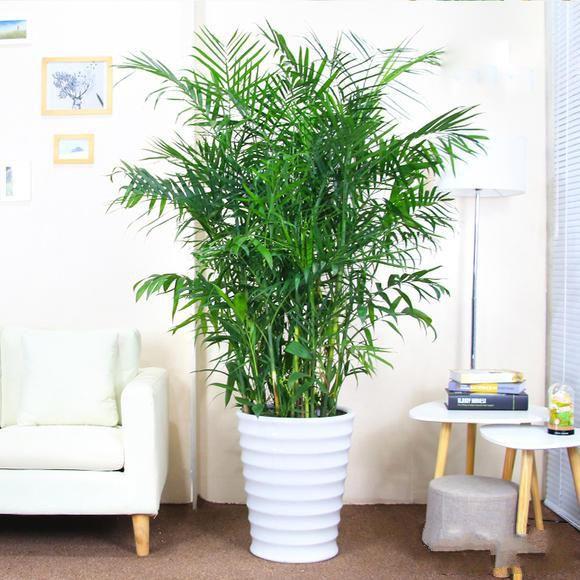 夏威夷竹子盆栽_图片1