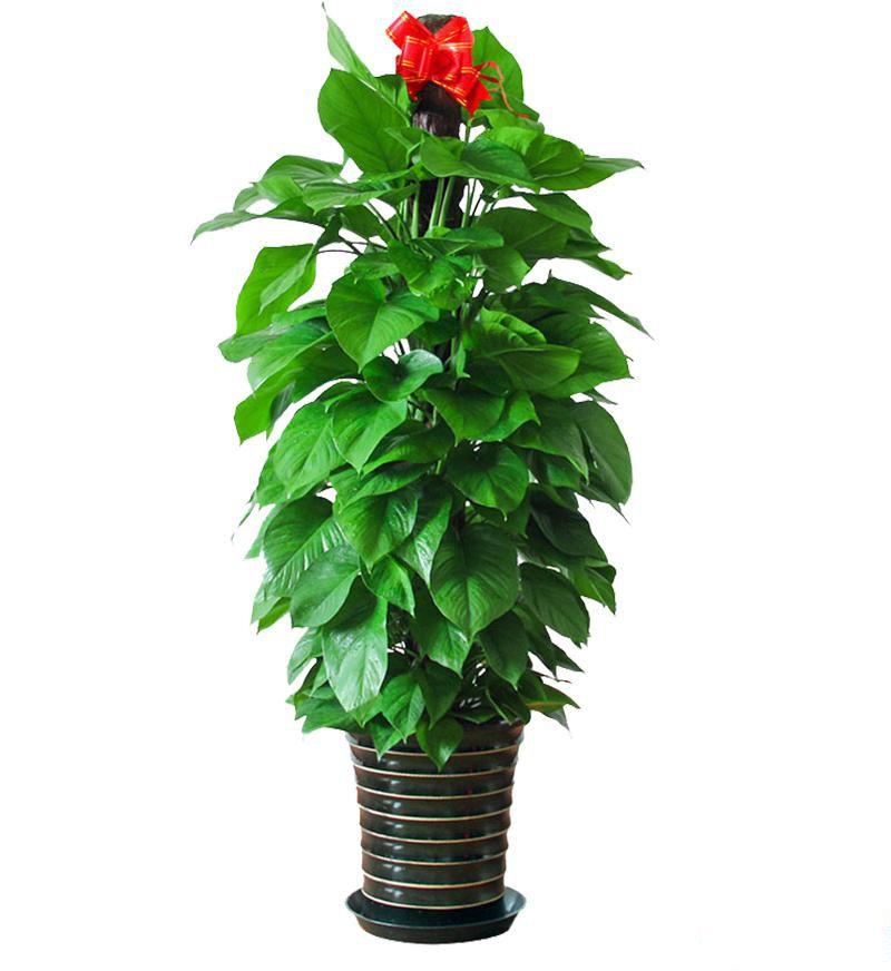 大绿萝盆栽