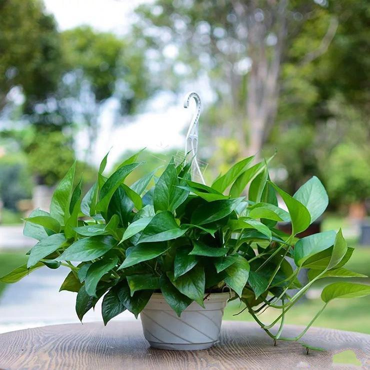绿航绿萝盆栽