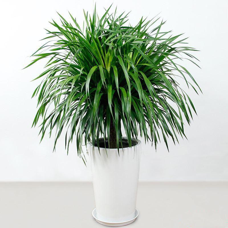 龙须树盆栽_图片1