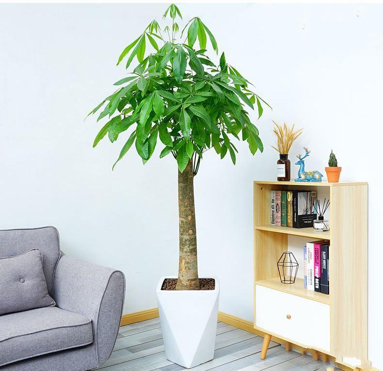单柱发财树盆栽2_图片1