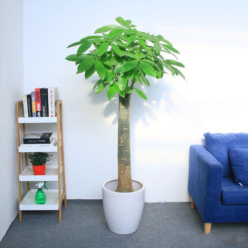 单柱发财树盆栽2_图片2