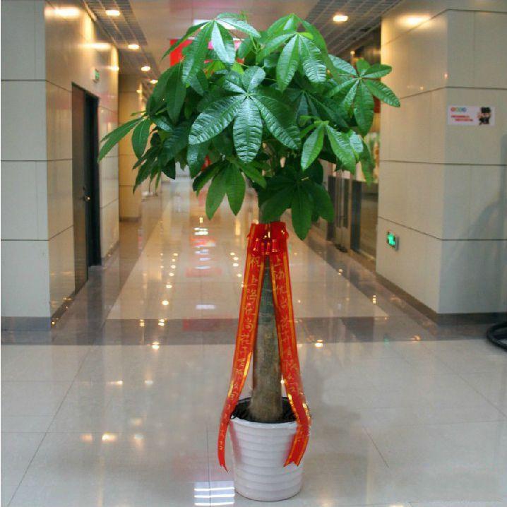 单柱发财树盆栽1