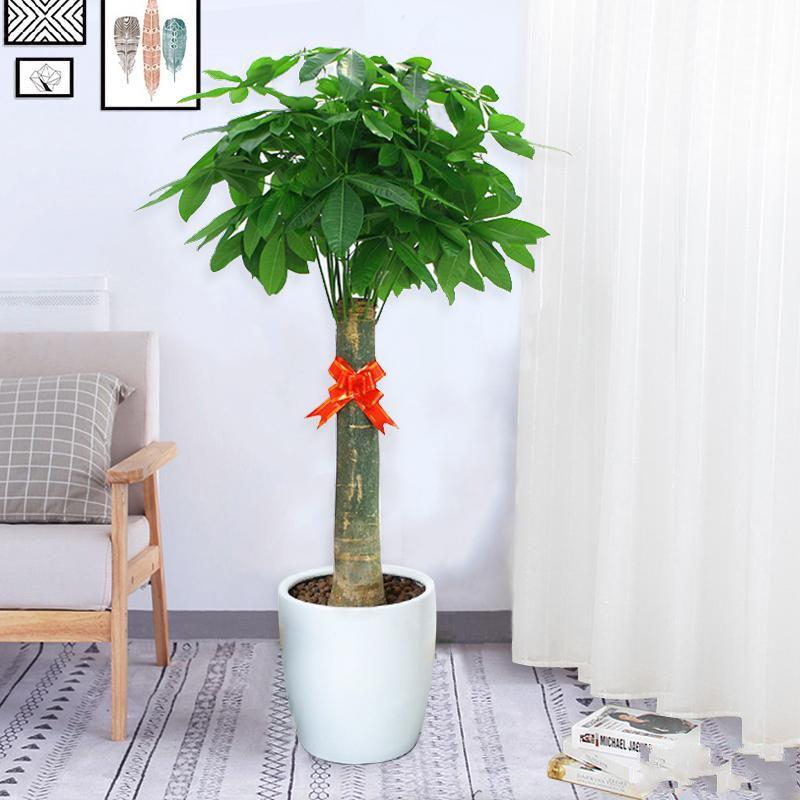 单柱发财树盆栽1_图片2