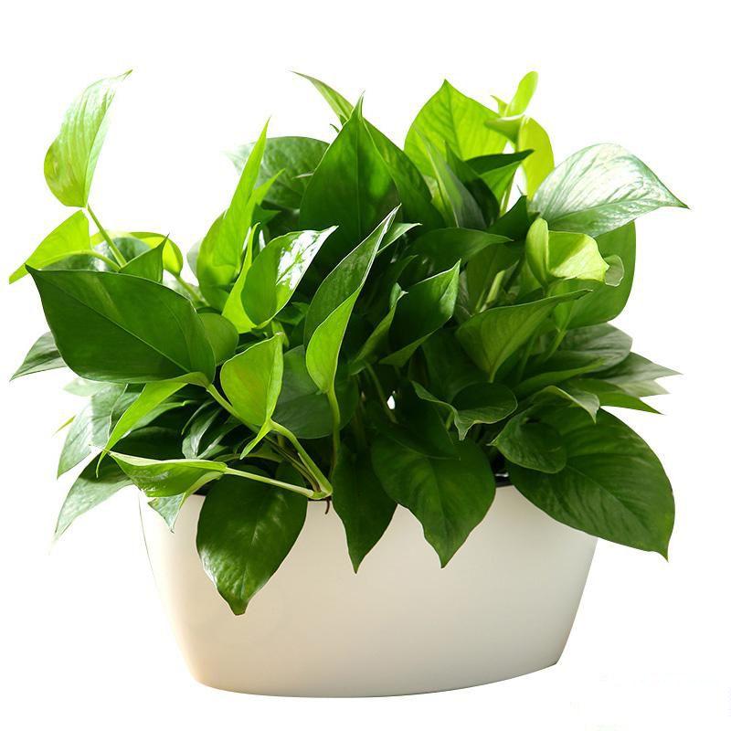 桌面大绿萝盆栽