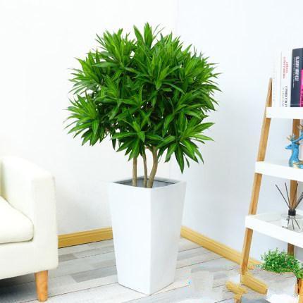 百合竹盆栽_图片1