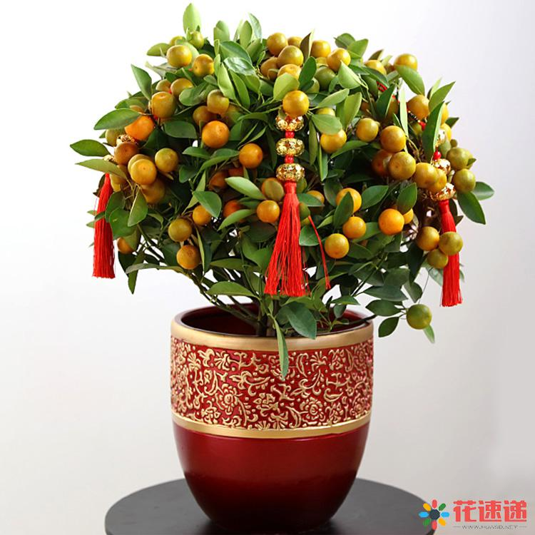 小金桔树盆栽