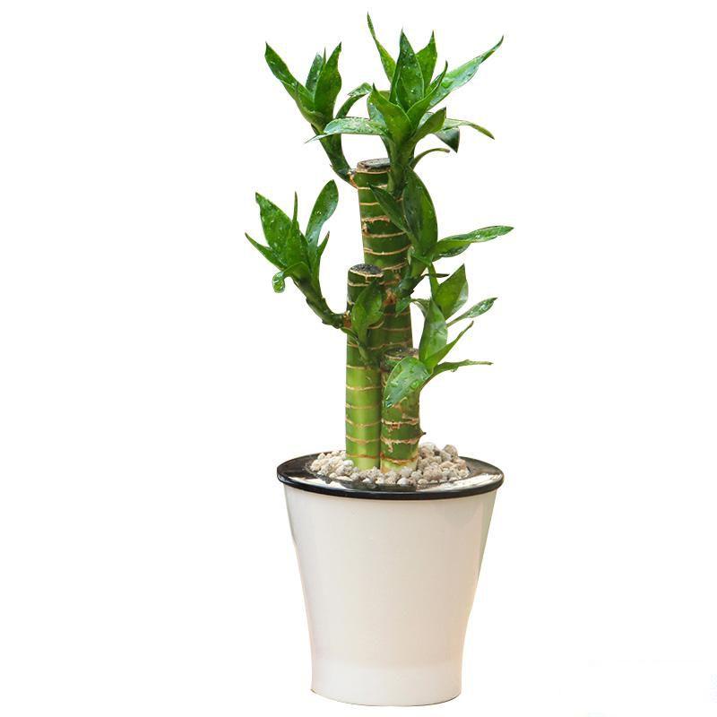 桌面小富贵竹盆栽_图片1