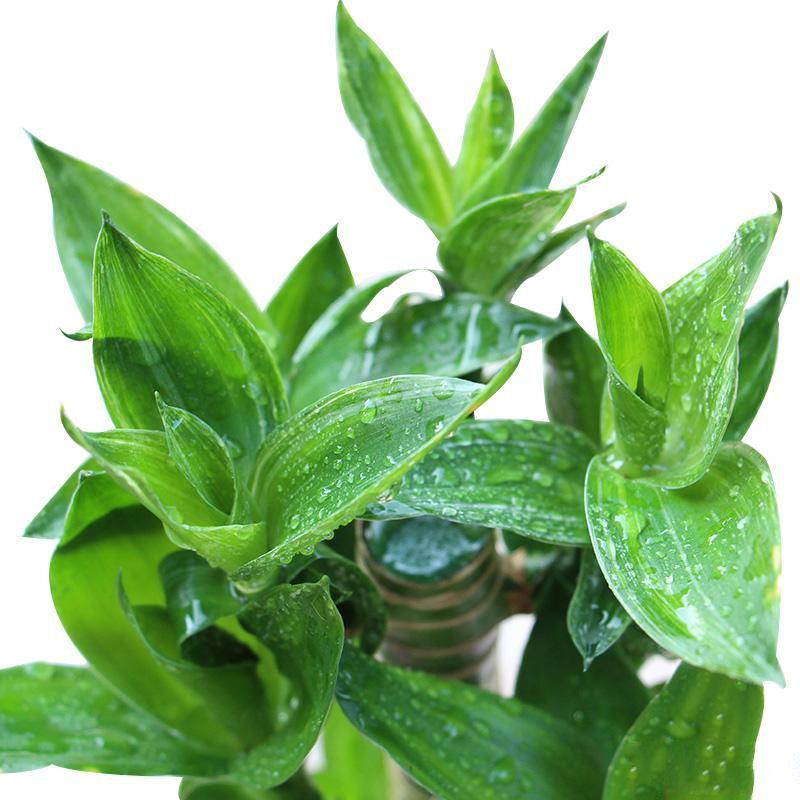 桌面小富贵竹盆栽_图片2