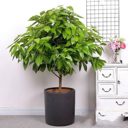 平安树盆栽_图片1