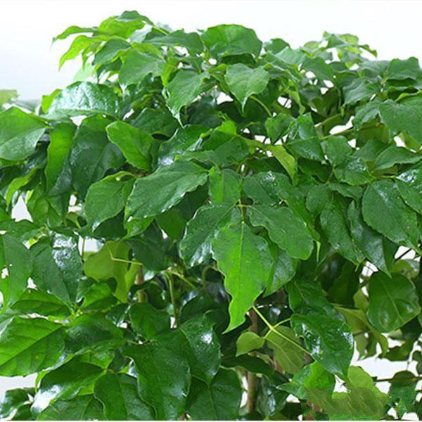 绿宝盆栽_图片2