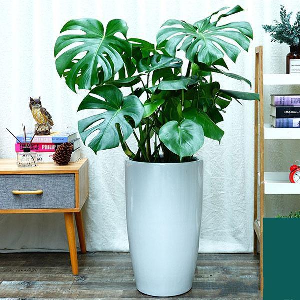 龟背竹盆栽_图片1