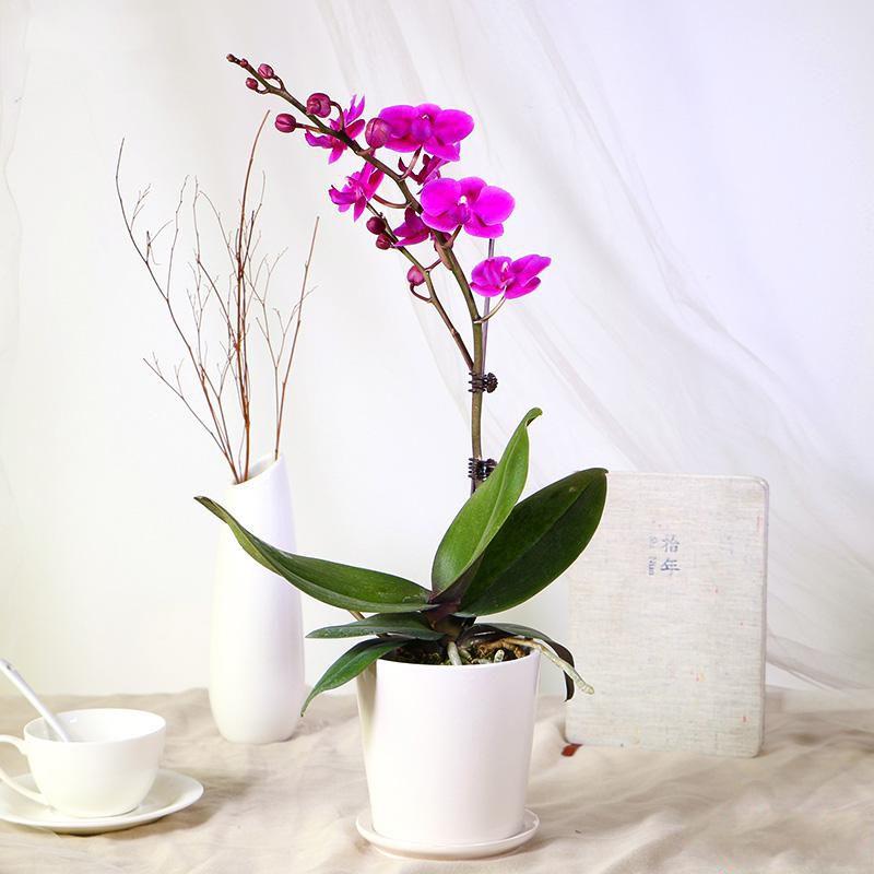 单株蝴蝶兰盆栽