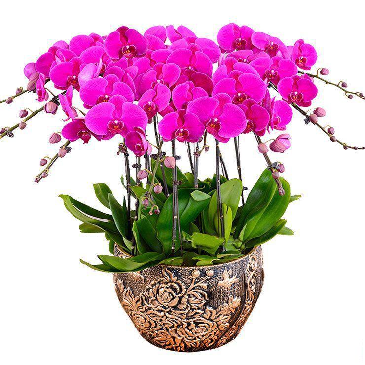 10株蝴蝶兰盆栽