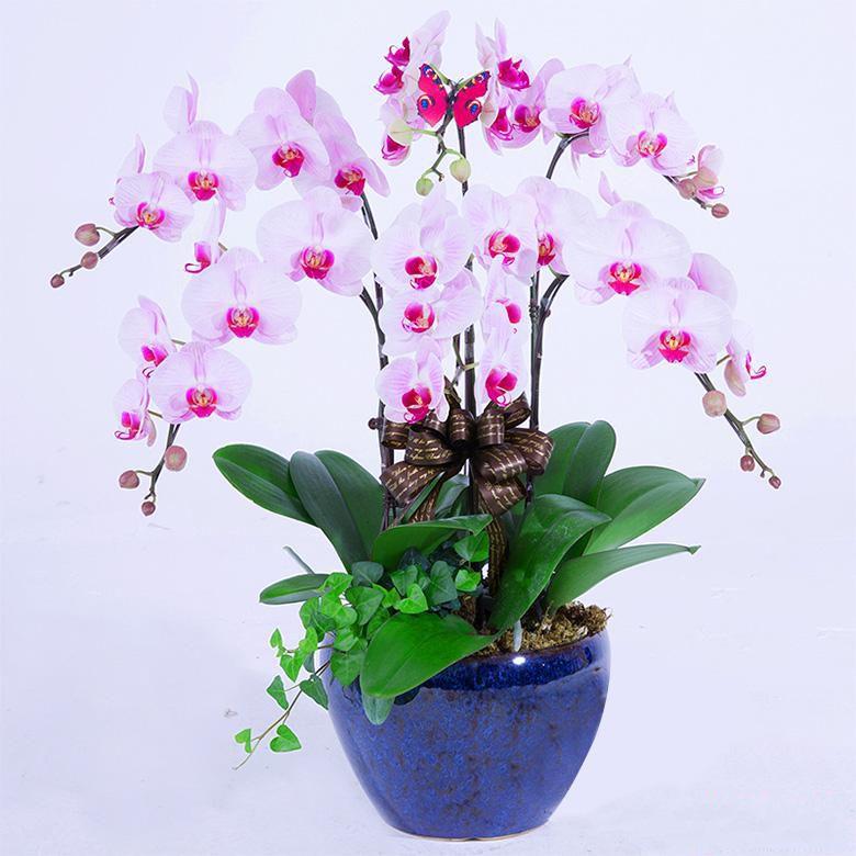 8株蝴蝶兰_8株蝴蝶兰盆栽一盆